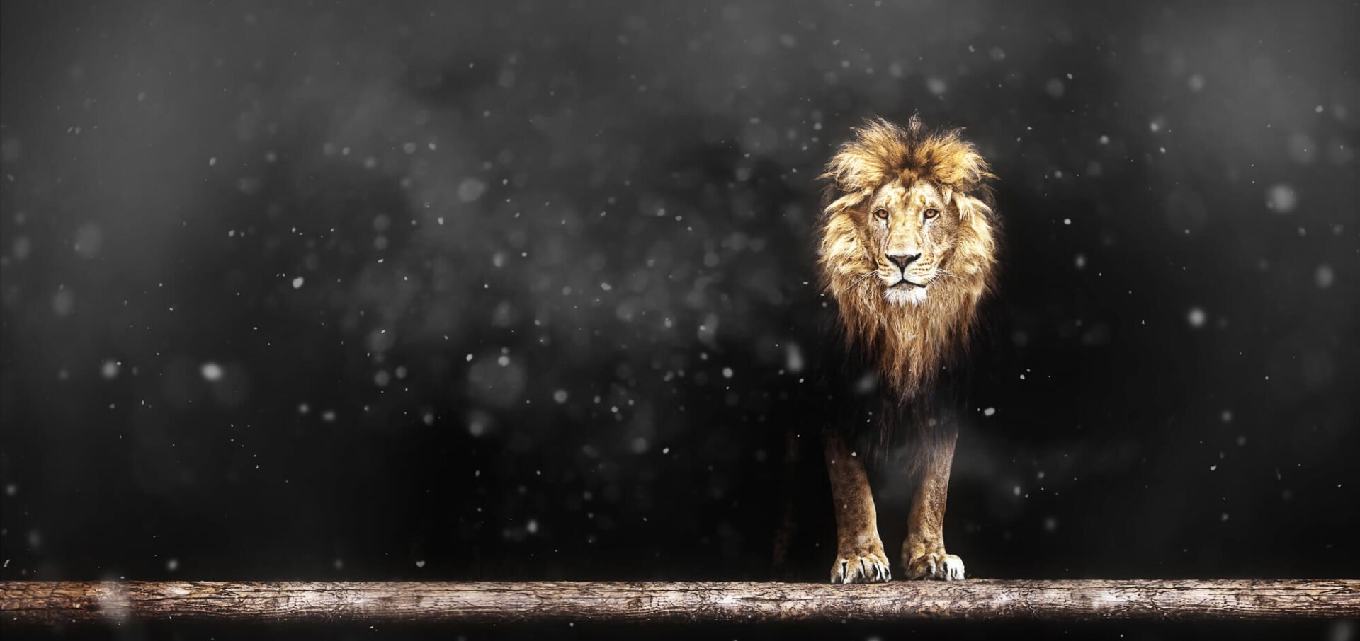 Lion leader of the pack