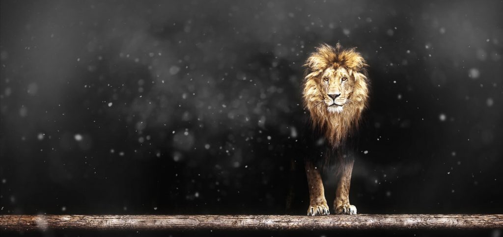 lion is the leader of the pack